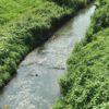 びん沼や新河岸川でナマズ